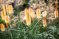 Kniphofia triangularis (Dwarf Red Hot Poker) - beautiful flowers Royalty Free Stock Images