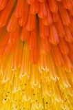 Kniphofia uvaria also known as Tritoma Stock Images