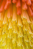 Kniphofia uvaria also known as Tritoma Royalty Free Stock Images