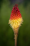 Kniphofia uvaria or poker plant. Exotic flower Kniphofia uvaria or poker plant royalty free stock photography