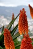 Kniphofia uvaria or Red Hot Poker. Kniphofia uvaria is also known as Tritoma, Torch Lily, or Red Hot Poker.  The leaves are reminiscent of a lily, and the flower Royalty Free Stock Photo
