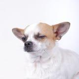 Knipogende hond royalty-vrije stock foto