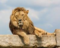 Knipogende leeuw stock foto's