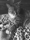 Knipogende Mannelijke kat | luipaardnoteringen | zwart-wit royalty-vrije stock afbeeldingen