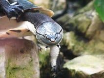 Knipogende Moerasschildpad Stock Foto's