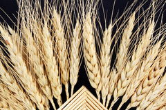 Knitted patterns of ears of oats barley rye or wheat Royalty Free Stock Image