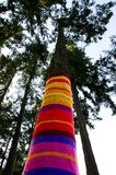 Knitted sock on a cedar. Shot from ground upward Stock Photos
