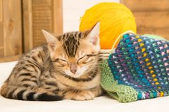 Knitting threads next to the sleepy kitten of Bengal Royalty Free Stock Images