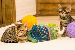 Knitting threads for two bengal kittens Stock Photos