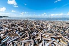 Knivslidasnäckskal på en strand royaltyfri bild