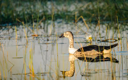 Knob-billed duck Stock Images