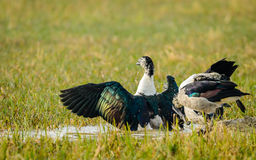 Knob-billed Duck Stretching Wings Stock Photo