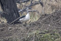 Knob-billed duck which stands on a small hill on the shore of a. Reservoir in the national park of Bharatpur Stock Photography