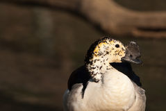 Knob-billed Duck Stock Image