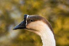 Knob goose. A close up view of a knob goose Royalty Free Stock Photography