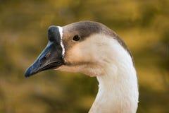 Knob goose. A close up view of a knob goose Stock Photography