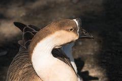 Knob goose. A close up view of a knob goose Stock Images