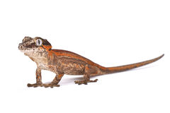 Knob-headed Giant Gecko (Rhacodactylus auriculatus). The Knob-headed Giant Gecko (Rhacodactylus auriculatus) is endemic to New Caledonia. They are popular pet stock photography