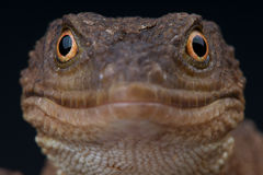 Knob-scaled lizard. The Knob-scaled lizard / Xenosaurus grandis as Royalty Free Stock Images