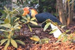 Knobbed Hornbill Arkivfoto