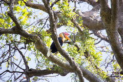 Knobbed hornbill, Aceros cassidix, fed walled female on the nest at a height of approximately 25 m.Tangkoko National Park, Sulaw Royalty Free Stock Photo