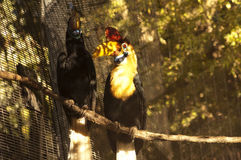 The Knobbed Hornbill couple. (Aceros cassidix Stock Images