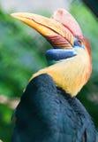 Knobbed hornbill in natural environment