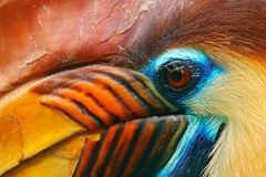 Knobbed Hornbill, Rhyticeros cassidix, from Sulawesi, Indonesia. Rare exotic bird detail eye portrait. Big red eye. Beautiful jung Royalty Free Stock Image