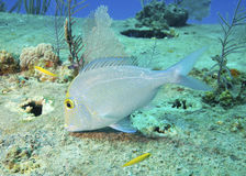 Knobbed Porgy (Tropical Fish) Foraging Royalty Free Stock Photography