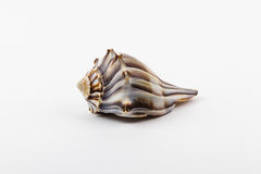 A knobbed whelk. Stock Image