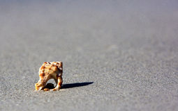 Knobbed Whelk Shell Stock Images