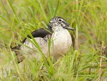 Knobbeleend, pato do pente, melanotos de Sarkidiornis imagens de stock royalty free