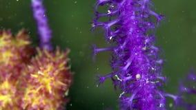 Knobbelige zachte koraalsp3 Carijoa sp3 in de golf van Fujairah de V.A.E Oman stock videobeelden