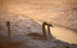Knobbelzwaan, Mute Swan, Cygnus olor stock images