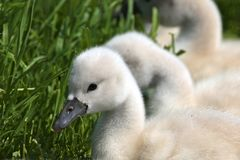 Knobbelzwaan, Mute Swan, Cygnus olor royalty free stock photography