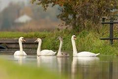 Knobbelzwaan, Mute Swan, Cygnus olor royalty free stock image
