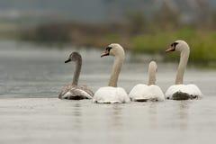 Knobbelzwaan, Mute Swan, Cygnus olor royalty free stock images
