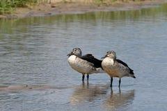 Knobbilled duck Stock Photo