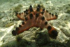Knobbly морская звезда, остров Mabul, Сабах Стоковое Фото