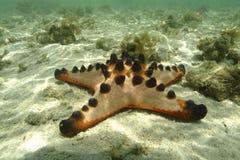 Knobbly морская звезда, остров Mabul, Сабах Стоковые Фото