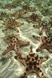 Knobbly морская звезда, остров Mabul, Сабах Стоковое Изображение