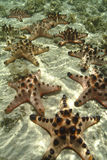 Knobbly Denna gwiazda, Mabul wyspa, Sabah Obraz Stock