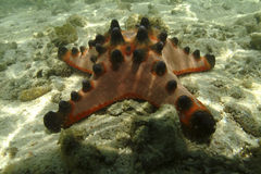 Knobbly Sea Star, Mabul Island, Sabah Stock Photo