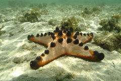 Knobbly Sea Star, Mabul Island, Sabah Stock Photos