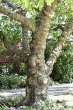 Knobby δέντρο Στοκ Εικόνα