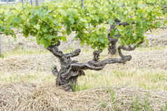Knobby Grapevine. Gnarly grapevine, Barossa Valley, Australia royalty free stock photo