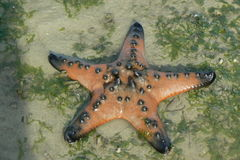 Knobby starfish Stock Photo