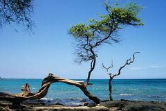 Knobby tree on a beach of Big Island, Hawaii. With view to Blue Bay Royalty Free Stock Photo
