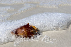 Knobby Whelk Shell on beach. Royalty Free Stock Photo