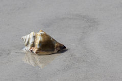 Knobby Whelk Shell on beach. Stock Image